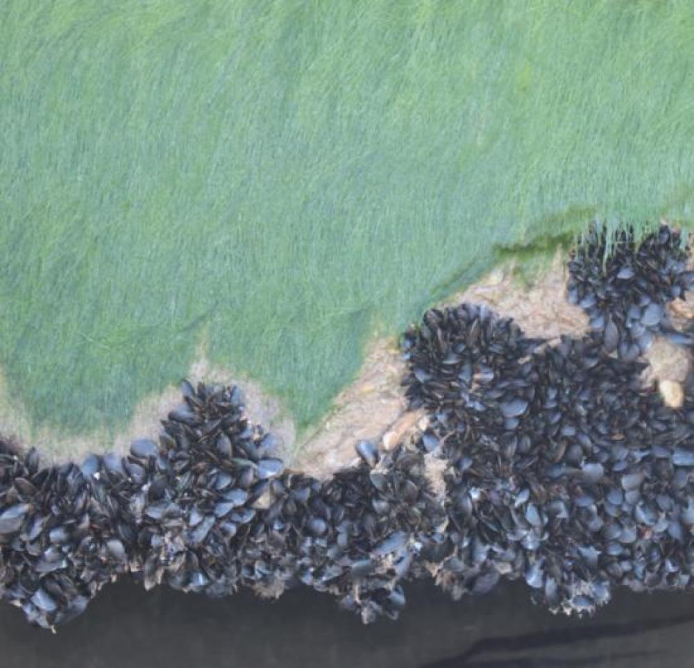 Algues lissées en contraste avec les coquilles